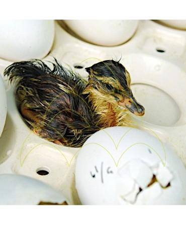 Rcom 50 Pro: Com cria de pato no interior