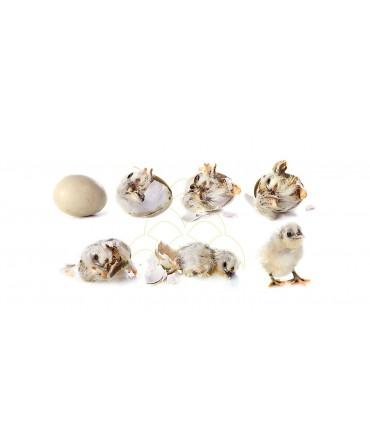 Rcom 20 King Suro Max: Alta confiabilidade para incubação de pássaros raros